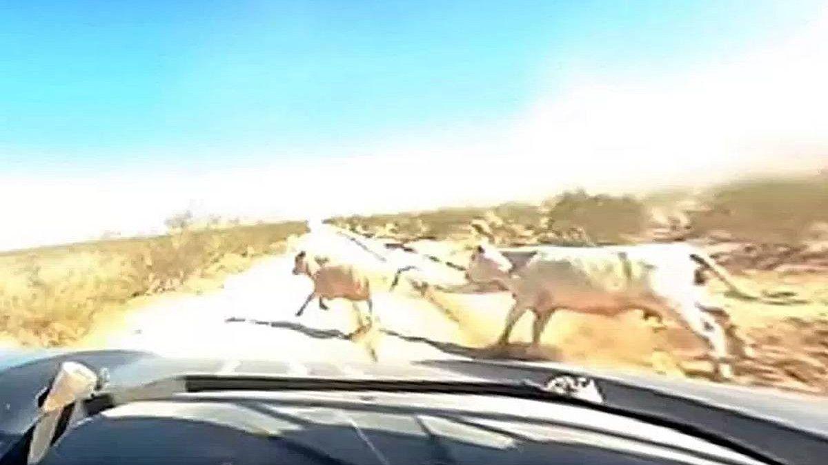 Horor u Arizoni: Sudar sa kravom pri brzini od 180 km/h